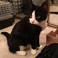 Domestic Shorthair Cat for adoption in Fairfax, Virginia - Pookie