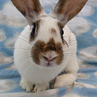 Adopt A Pet :: Basil - Alexandria, VA
