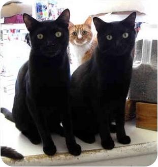 Domestic Shorthair Cat for adoption in La Jolla, California - Ziggy