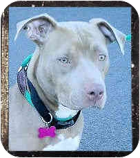 American Staffordshire Terrier Dog for adoption in Los Angeles, California - Marcella
