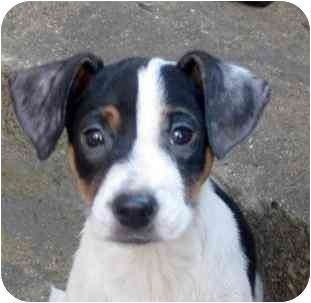 Beagle/Shepherd (Unknown Type) Mix Puppy for adoption in Chicago, Illinois - Lilly(ADOPTED!)