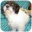 Photo 1 - Shih Tzu/Terrier (Unknown Type, Small) Mix Dog for adoption in Murphysboro, Illinois - Shakira