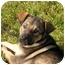 Photo 1 - German Shepherd Dog/Labrador Retriever Mix Puppy for adoption in Rigaud, Quebec - Spice