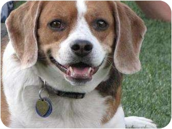 Beagle Mix Dog for adoption in Phoenix, Arizona - Baileys