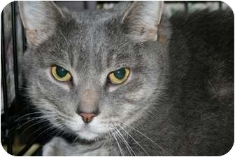 Domestic Shorthair Cat for adoption in Frederick, Maryland - Mr Ed