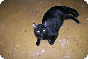 Domestic Shorthair Cat for adoption in Scottsdale, Arizona - Panther
