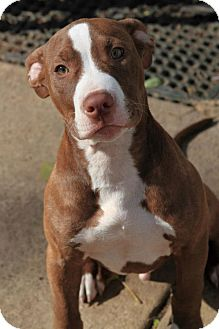 American Staffordshire Terrier Puppy for adoption in Burr Ridge, Illinois - Leo 14 weeks old