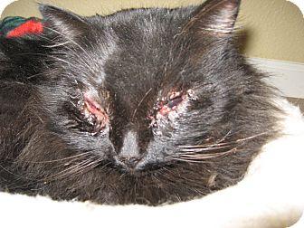 Himalayan Cat for adoption in Morgan Hill, California - Coco Fuzzy Bear