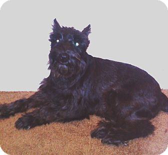 Schnauzer (Miniature)/Schnauzer (Standard) Mix Dog for adoption in North Olmsted, Ohio - Quince-Courtesy Post