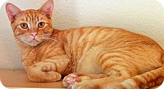 Domestic Shorthair Cat for adoption in Escondido, California - Brady