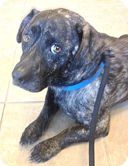 Corgi/Labrador Retriever Mix Dog for adoption in Snohomish, Washington - Social Dog Park Duke!