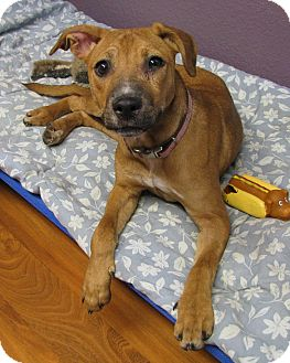 Miniature Pinscher/Beagle Mix Dog for adoption in Lisbon, Ohio - Eileen