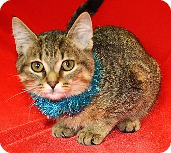 Domestic Shorthair Kitten for adoption in Jackson, Michigan - Clayton