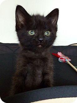Domestic Shorthair Kitten for adoption in Huntley, Illinois - Vixen