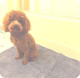 Cockapoo Dog for adoption in Kannapolis, North Carolina - Moe -Adopted!