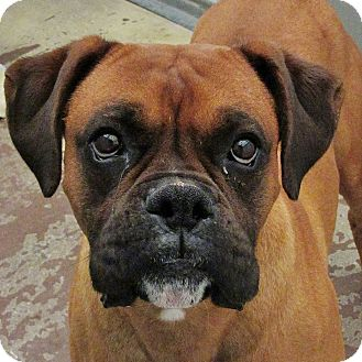 Boxer Dog for adoption in Boise, Idaho - Wilson