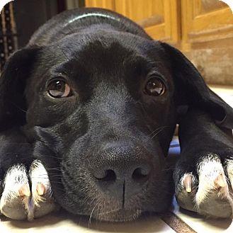 Labrador Retriever Mix Puppy for adoption in Lincoln, California - Dee