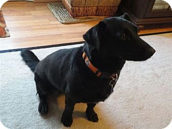 Labrador Retriever/Corgi Mix Dog for adoption in Decatur, Georgia - Lucy