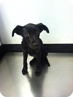 Labrador Retriever Mix Puppy for adoption in Darlington, South Carolina - Diny