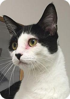 Domestic Shorthair Cat for adoption in Gloucester, Massachusetts - Paddles