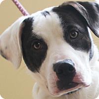 Adopt A Pet :: Thumper - Chapel Hill, NC