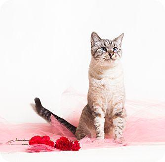 Siamese Cat for adoption in Redding, California - Bruce Adoption fee $40
