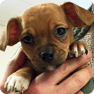 Chihuahua/Dachshund Mix Puppy for adoption in Sprakers, New York - Vinny