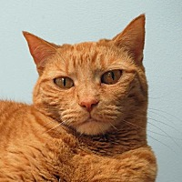 Domestic Shorthair Cat for adoption in Spokane Valley, Washington - Lauren