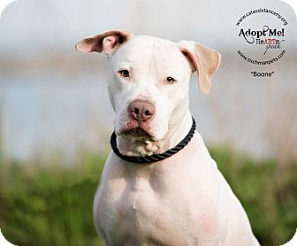 Labrador Retriever/Pit Bull Terrier Mix Dog for adoption in Ardsley, New York - Boone
