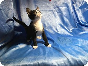 Domestic Shorthair Kitten for adoption in Sarasota, Florida - Monty