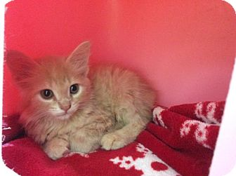 Domestic Shorthair Kitten for adoption in Janesville, Wisconsin - Greg