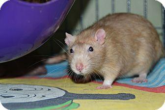Rat for adoption in Brooklyn, New York - Weasley boys