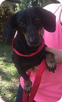Dachshund Dog for adoption in Palm Harbor, Florida - Zack