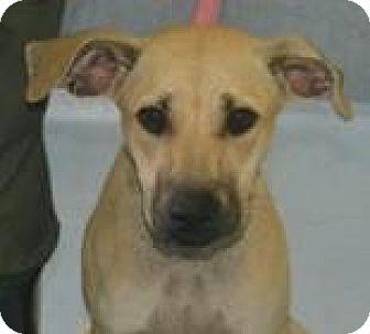 Shepherd (Unknown Type) Mix Puppy for adoption in Walden, New York - Susan