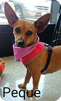 Chihuahua/Dachshund Mix Dog for adoption in San Diego, California - Peque