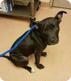 American Pit Bull Terrier Mix Dog for adoption in Columbus, Georgia - Bootleg 8193