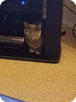 Domestic Shorthair Cat for adoption in Media, Pennsylvania - Cybil