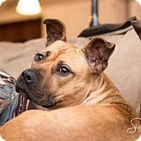 Adopt A Pet :: Zolly - Montclair, NJ