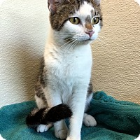 Adopt A Pet :: Clairabelle - Las Vegas, NV