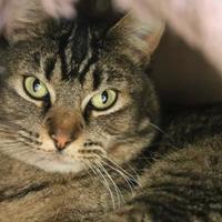 Domestic Shorthair/Domestic Shorthair Mix Cat for adoption in Boise, Idaho - Liberty
