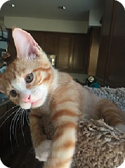 Domestic Shorthair Kitten for adoption in Mission Viejo, California - Taffy