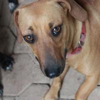 Adopt A Pet :: Hershey - Waco, TX