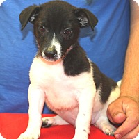 Catahoula Leopard Dog/Jack Russell Terrier Mix Puppy for adoption in Sparta, New Jersey - Angus