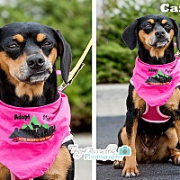 Adopt A Pet :: Candy - Rexford, NY
