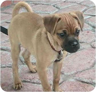 Boxer Puppy for adoption in Poway, California - Bonita