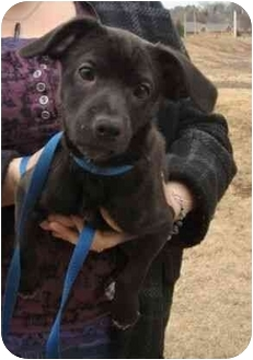 Chihuahua/Terrier (Unknown Type, Small) Mix Puppy for adoption in Windham, New Hampshire - Joe Jackson
