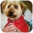 Photo 3 - Silky Terrier Dog for adoption in Osseo, Minnesota - Andy