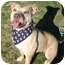 Photo 1 - American Pit Bull Terrier/Weimaraner Mix Dog for adoption in Auburn, California - Athena