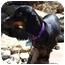 Photo 3 - Dachshund Dog for adoption in Colleyville, Texas - Dodger