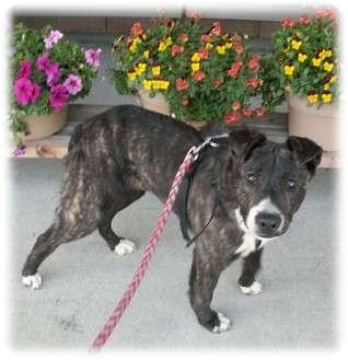 Australian Shepherd/Australian Cattle Dog Mix Dog for adoption in Cincinnati, Ohio - Smokey - courtesy post